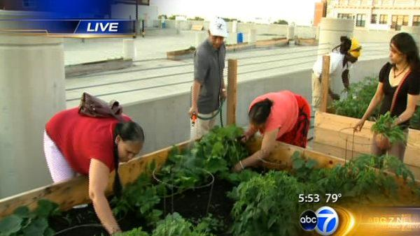 Weiss Hospital grows rooftop urban farm