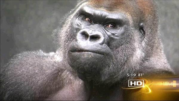 Gorilla 'JoJo' king of the jungle at Brookfield Zoo