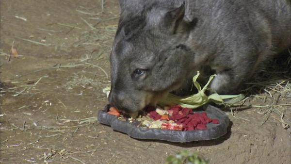 The orphaned, southern, hairy-nosed wombats came from Australia last month. Wednesday, August 1, 2012 -- after a mandatory three-week health quarantine -- they were shown off by zoo staff and put on display.