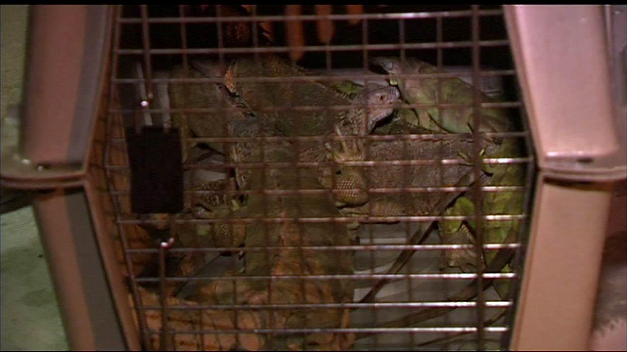 A fire on Chicagos Far North Side killed 25 pet iguanas. The fire started early Monday morning, August 13, 2012, near Jonquil Terrace and Paulina in the Rogers Park community. Only eight iguanas survived the blaze.