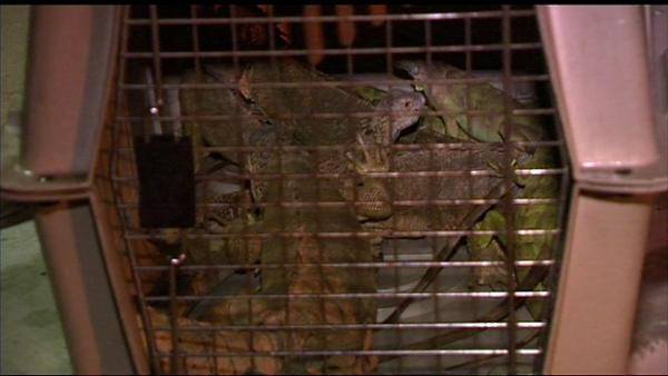 A fire on Chicago's Far North Side killed 25 pet iguanas. The fire started early Monday morning, August 13, 2012, near Jonquil Terrace and Paulina in the Rogers Park community. Only eight iguanas survived the blaze.