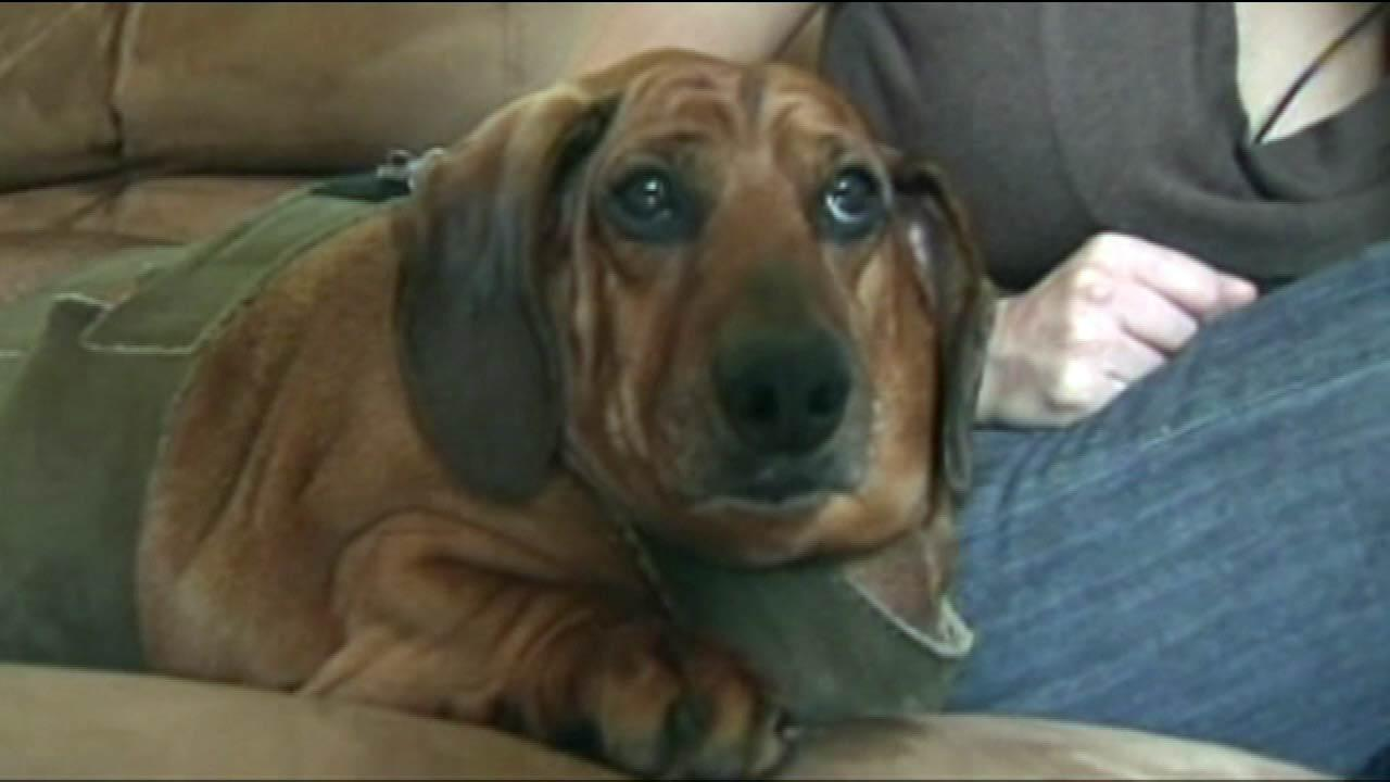 At one point, Obie the dachshund mix was up to 77 pounds. Now hes on a strict diet to get him back to a normal size   of about 40 pounds.