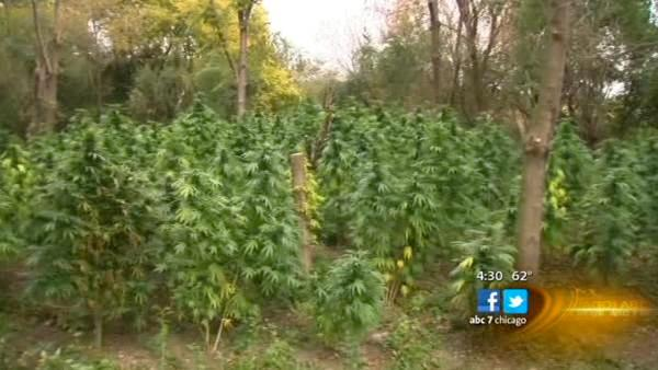 Police tear down, destroy 2 football fields of pot