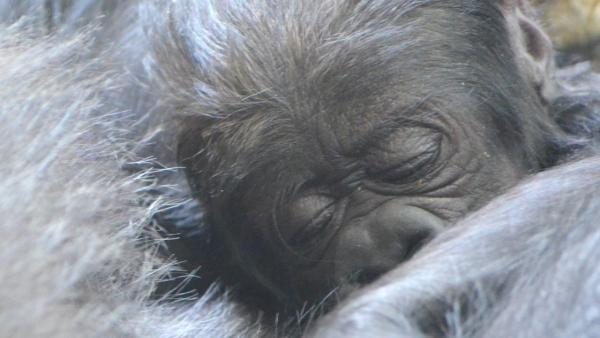 Lincoln Park Zoo is showing off its healthy baby western lowland gorilla, born on October 11, 2012.