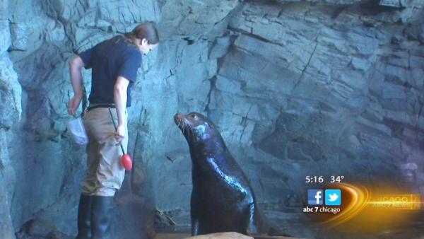 Rescued sea lions find home at Shedd