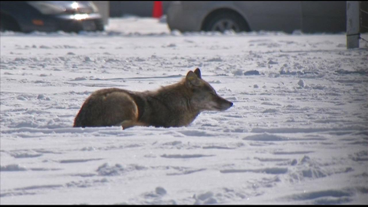 ABC7 cameras spotted a couple of coyotes in Clarendon Park, Wednesday, February 06, 2013.