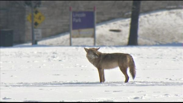 Coyotes spotted roaming University of Chicago campus, Clarendon Park
