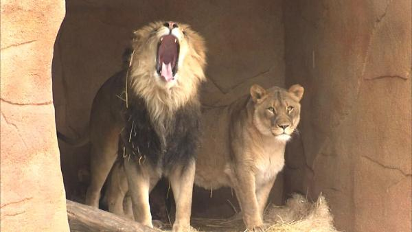 Lion meat bill could see vote this week