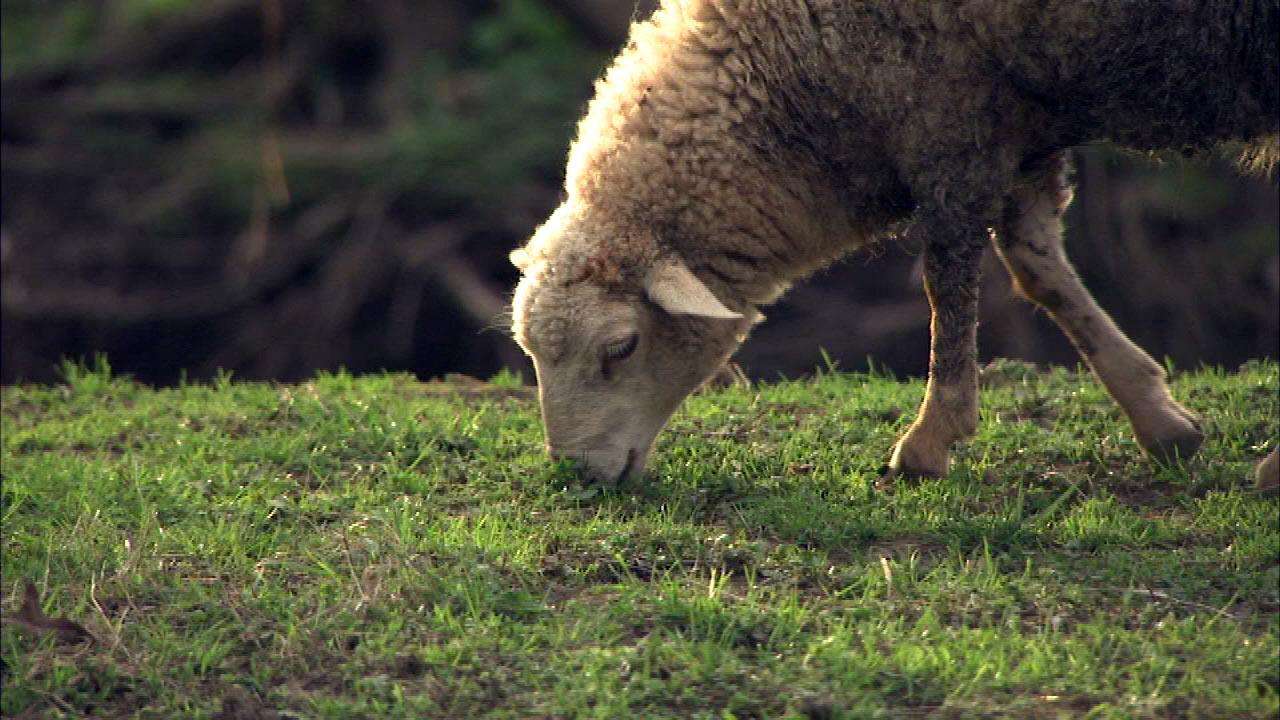 Dozens of sheep are roaming in southwest suburban Cook County, and thats not going over well in unincorporated Lemont.