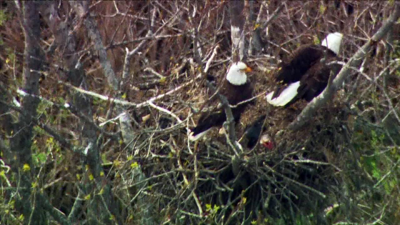 Wildlife officials think there may be two eaglets in the nest.