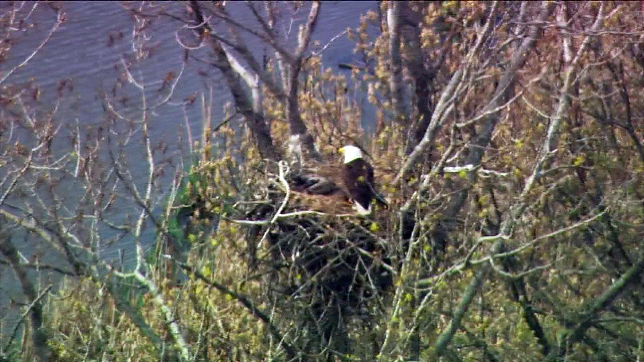 An  eagles nest is located in Palos Township near 131st Street near Wolf Road.