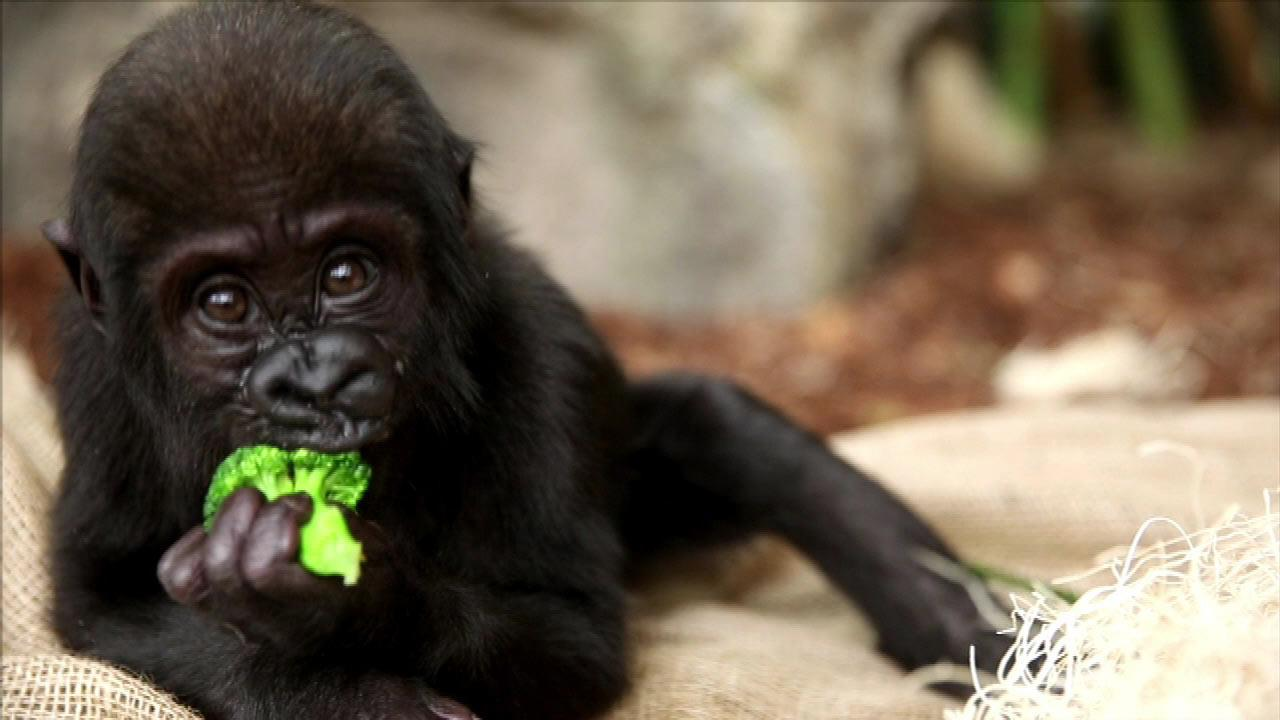 Back in February, Lincoln Park Zoos three-month-old gorilla Nayembi suffered a facial injury that required emergency surgery. <span class=meta>(Lincoln Park Zoo)</span>
