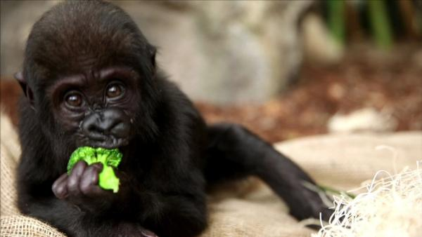 Back in February, Lincoln Park Zoo's three-month-old gorilla ''Nayembi'' suffered a facial injury that required emergency surgery.