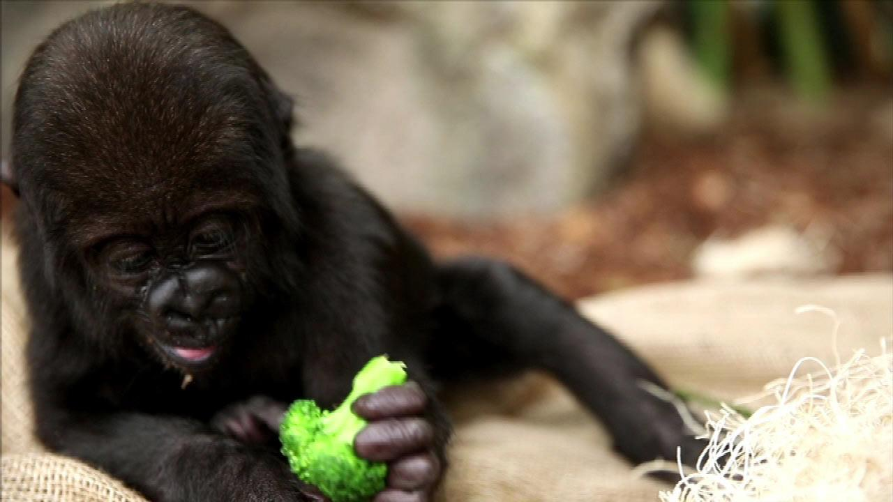 Zoo officials have released recent pictures of now six-month-old  Nayembi and she appears to be showing positive signs of recovery.Lincoln Park Zoo