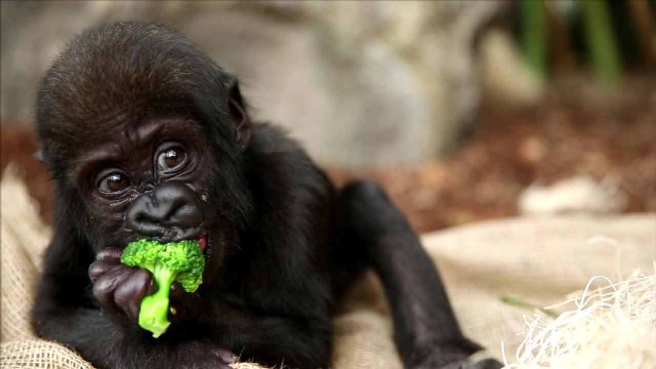 Lincoln Park Zoos Maureen Leahy, curator of primates, says they are introducing Nayembi to solid foods -- like broccoli -- and she loves tomatoes. <span class=meta>(Lincoln Park Zoo)</span>