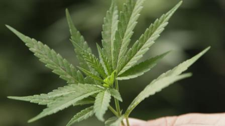 marijuana leaf is seen in this file image. ( (AP Photo/Eric Risberg