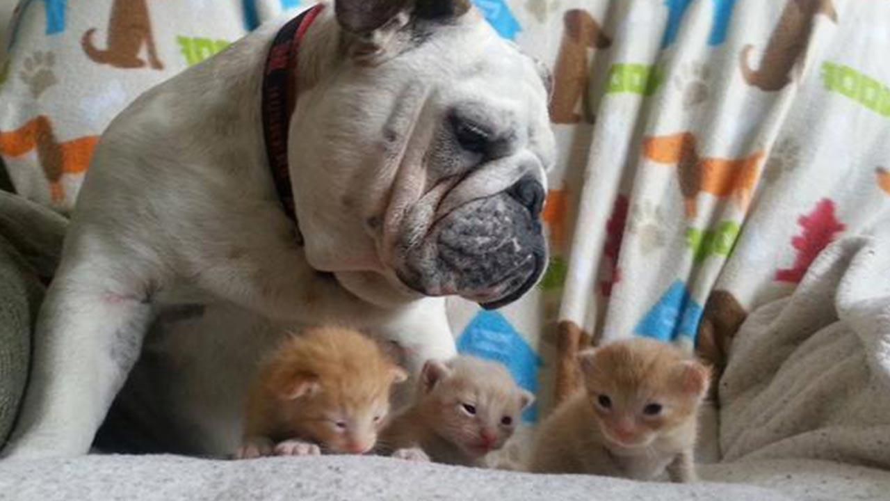 Hammie the bulldog takes care of his new kitten friends