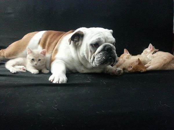 A Nebraska woman couldn&#39;t believe her eyes when her male bulldog fell in love with a new litter of kittens.  <span class=meta>(Good Morning America&#47;Michelle Parden)</span>