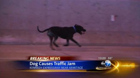 A dog caused a big traffic jam on the Kennedy Expressway Monday night.
