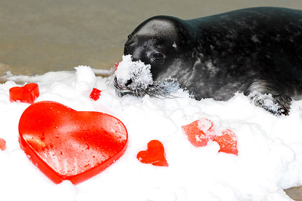 "<div class=""meta ""><span class=""caption-text "">A grey seal pup born on January 1 at Brookfield Zoo received some heart-shaped treats for Valentine's Day. The pup, recently named Charles, will be on exhibit at the zoo's Pinniped Point this spring. When born, grey seal pups, have a long white fur called lanugo (pronounced la-noo-go), which is molted in two to four weeks. (Jim Schulz/Chicago Zoological Society)</span></div>"