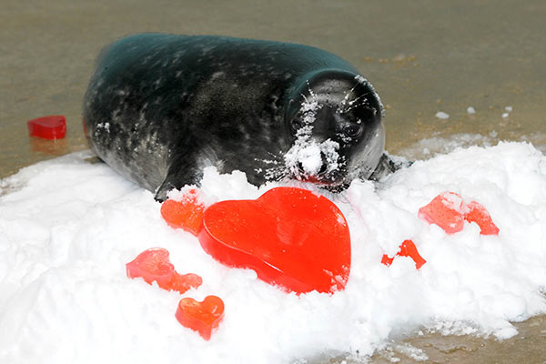 A grey seal pup born on January 1 at Brookfield Zoo received some heart-shaped treats for Valentine&#39;s Day. The pup, recently named Charles, will be on exhibit at the zoo&#39;s Pinniped Point this spring. When born, grey seal pups, have a long white fur called lanugo &#40;pronounced la-noo-go&#41;, which is molted in two to four weeks. <span class=meta>(Jim Schulz&#47;Chicago Zoological Society)</span>