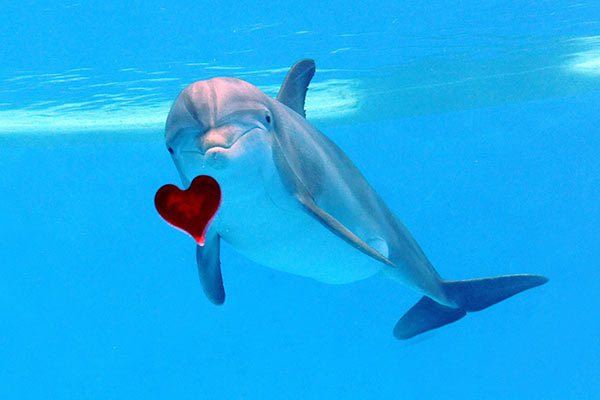 A bottlenose dolphin calf born at Brookfield Zoo on October 16, 2013, looks inquisitively at a heart-shaped Valentine&#39;s Day treat he received today, February 14. The calf was recently named Merlin. A second calf born October 28, 2013, who is being hand reared because his mother was not providing him with the proper care, was named Magic. <span class=meta>(Jim Schulz&#47;Chicago Zoological Society)</span>