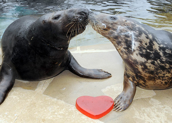"<div class=""meta ""><span class=""caption-text "">Grey seals Boone (left) and Tasha seem to be embracing the spirit of Valentine's Day at Brookfield Zoo. (Jim Schulz/Chicago Zoological Society)</span></div>"