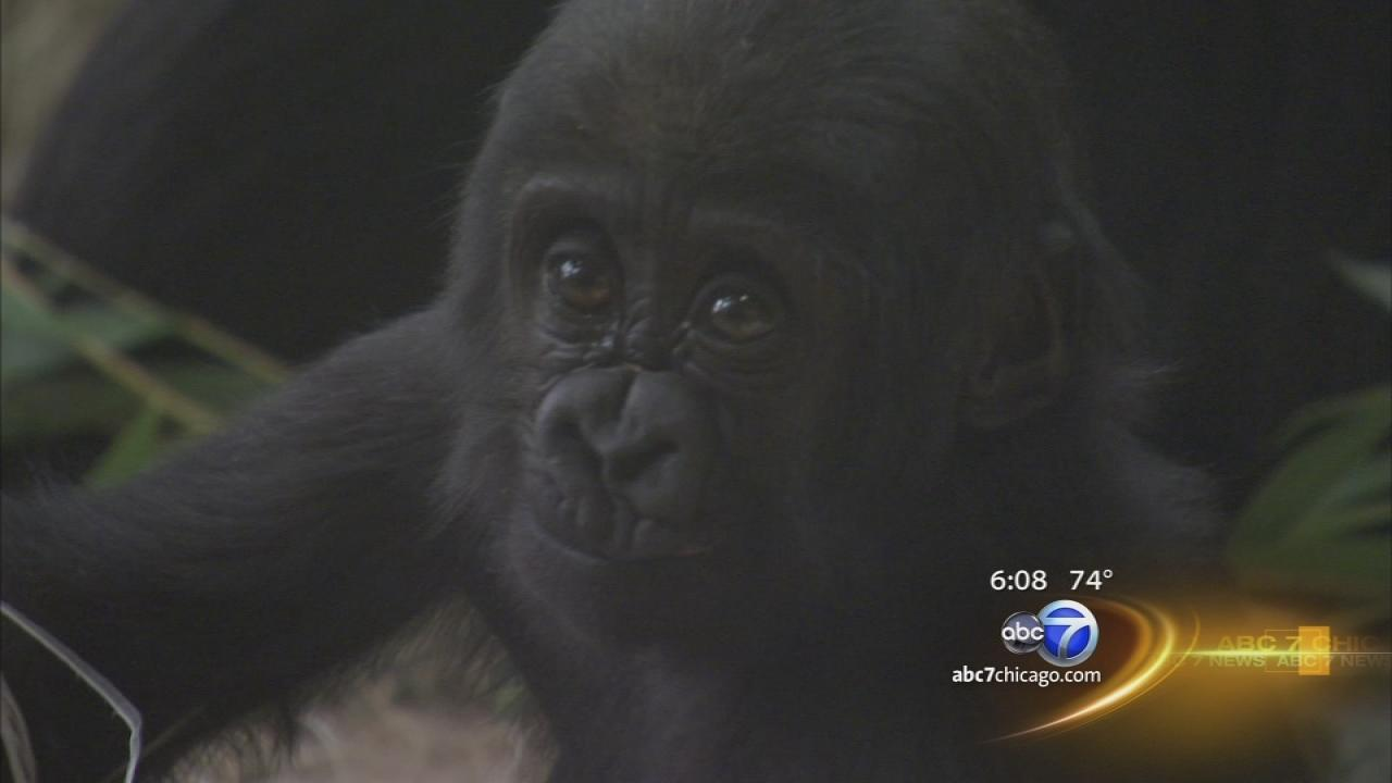 Injured baby gorilla back in public view