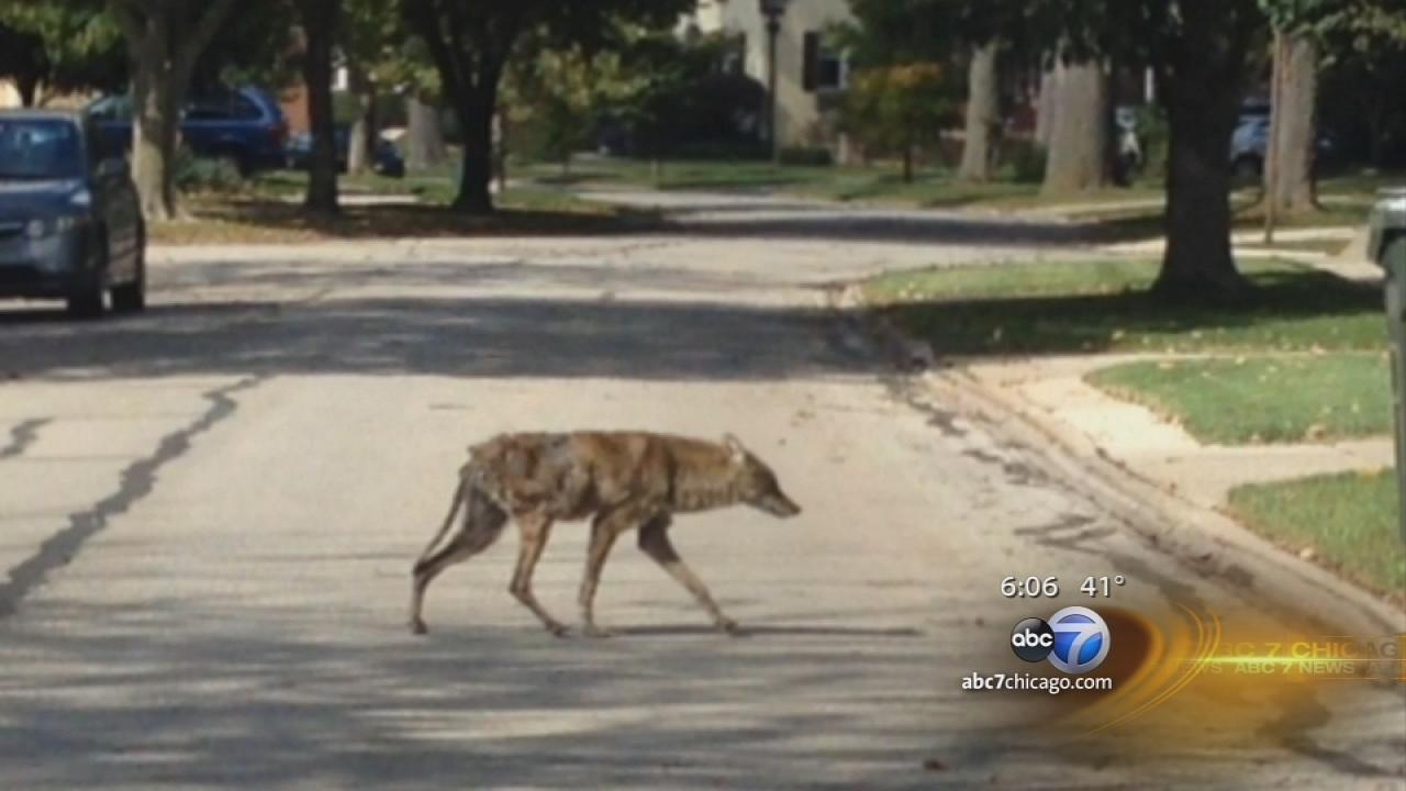 Coyote ventures into Riverside during daylight hours