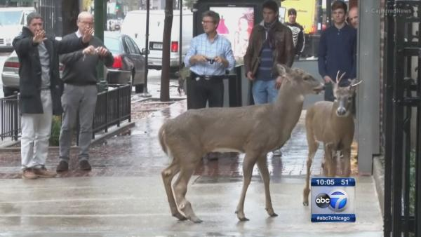 Deer spotted walking along State in Gold Coast