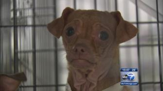 30 dogs removed from North Chicago apartment