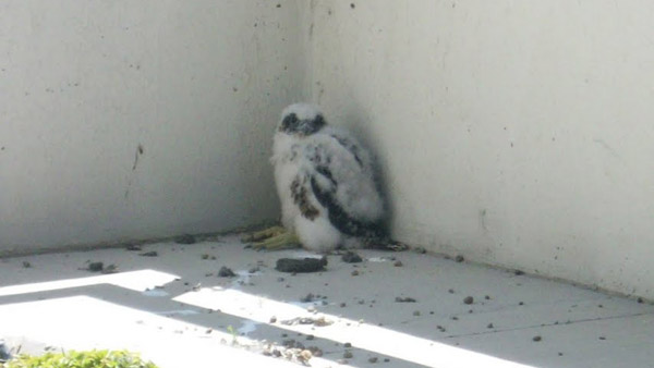 "<div class=""meta ""><span class=""caption-text "">The baby Peregrine Falcon on the roof top garden of The Clare at Water Tower retirement community is two-and-a-half months old at the time this photo was taken. (Photo courtesy of Betty Bergstrom)</span></div>"