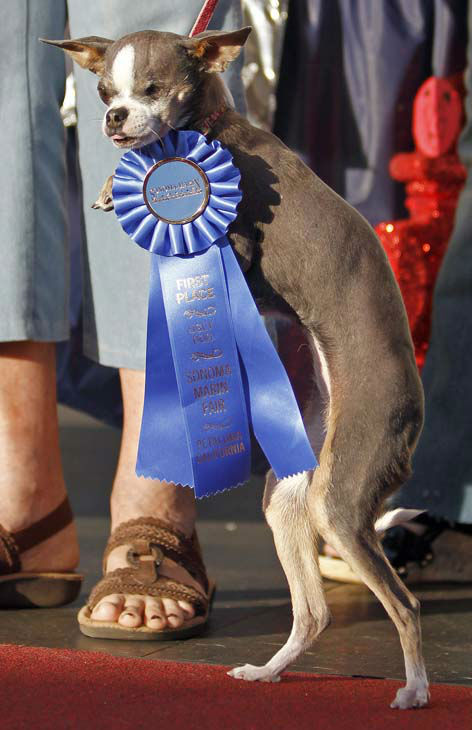 &#34;Princess Abby&#34; the purebred chihuahua strolls on the red carpet after winning the World&#39;s Ugliest Dog Contest Friday, June 25, 2010, in Petaluma, Calif. &#40;AP Photo&#47;Ben Margot&#41; <span class=meta>(AP Photo&#47; Ben Margot)</span>