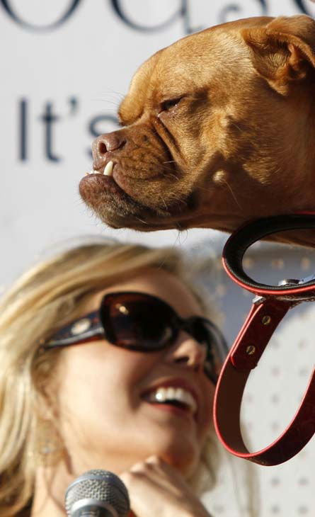 World&#39;s Ugliest Dog Contest judge Christina Moore observes &#34;Pabst&#34;, a Boxer mix during contest competition Friday, June 25, 2010, in Petaluma, Calif. &#40;AP Photo&#47;Ben Margot&#41; <span class=meta>(AP Photo&#47; Ben Margot)</span>