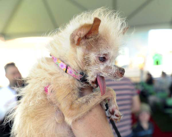 "<div class=""meta ""><span class=""caption-text "">Yoda, a 14-year-old Chinese Crested and Chihuahua mix, prepares to compete in the 2011 World's Ugliest Dog Contest on Friday, June 24, 2011, in Petaluma, Calif. The winner of the competition, hosted at the Sonoma-Marin Fair, wins $1000 dollars and other pet perks. (AP Photo/Noah Berger) (AP Photo/ Noah Berger)</span></div>"