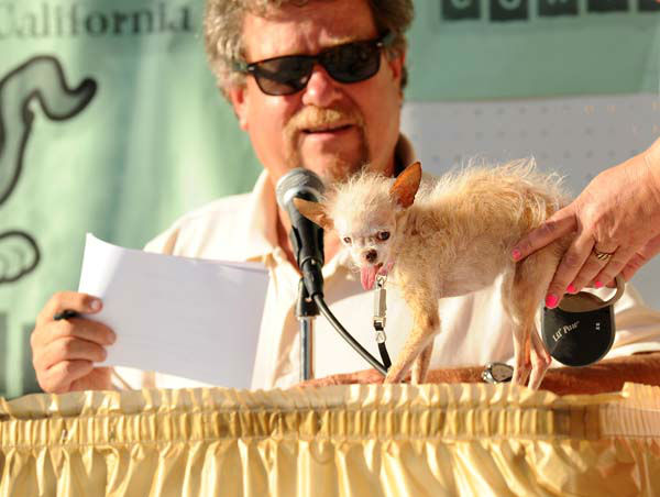 A judge evaluates Yoda during the 2011 World&#39;s Ugliest Dog Contest on Friday, June 24, 2011, in Petaluma, Calif. The 14-year-old Chinese Crested and Chihuahua mix took top honors winning &#36;1000 and a plethora of pet perks at the Sonoma-Marin Fair. &#40;AP Photo&#47;Noah Berger&#41; <span class=meta>(AP Photo&#47; Noah Berger)</span>