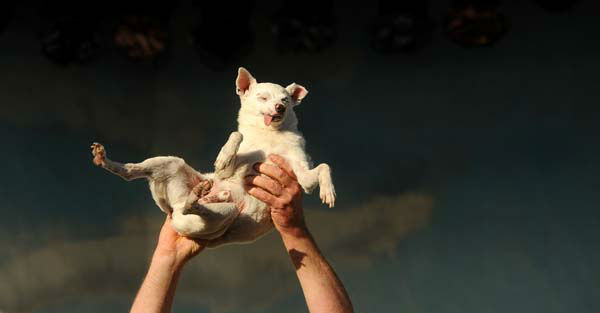 Ratdog, a 14-year-old Chihuahua mix, competes in the 2011 World&#39;s Ugliest Dog Contest on Friday, June 24, 2011, in Petaluma, Calif. He was born deaf and toothless, but did not win the Sonoma-Marin Fair competition. &#40;AP Photo&#47;Noah Berger&#41; <span class=meta>(AP Photo&#47; Noah Berger)</span>
