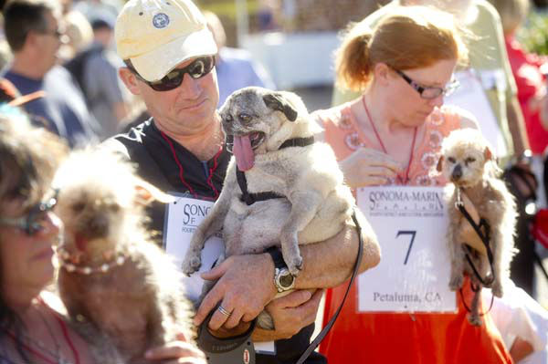 Penny, a 12-year-old pure bred pug, waits with owner James Montgomery to compete in the 25th annual World&#39;s Ugliest Dog Contest at the Sonoma-Marin Fair on Friday, June 21, 2013, in Petaluma, Calif. &#40;AP Photo&#47;Noah Berger&#41; <span class=meta>(AP Photo&#47; Noah Berger)</span>