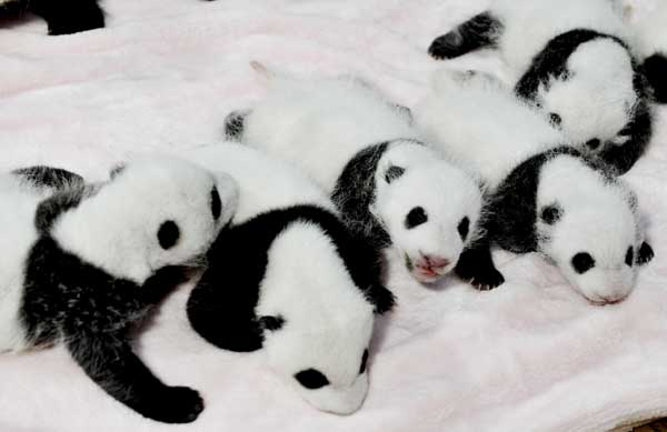 14 pandas in a crib <span class=meta>(AP Photo)</span>