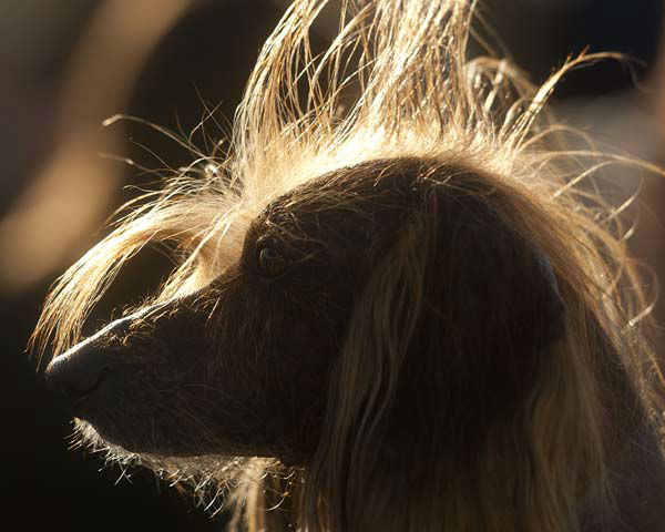 "<div class=""meta ""><span class=""caption-text "">Isaboo, a 7-year-old Chinese Crested, basks in the sun after competing in the 25th annual World's Ugliest Dog Contest at the Sonoma-Marin Fair on Friday, June 21, 2013, in Petaluma, Calif. Isaboo won third place in the mutt category. (AP Photo/Noah Berger) (AP Photo/ Noah Berger)</span></div>"