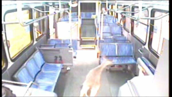 One passenger was on the back of the bus when the deer came running down the aisle.  <span class=meta>(WLS Photo)</span>