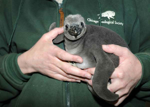 "<div class=""meta ""><span class=""caption-text "">A 1-month-old Humboldt penguin chick hatched at Brookfield Zoo on February 20. The penguin egg was laid at Columbus Zoo but the parents had difficulties incubating the egg due to the Arctic blast that swept through Ohio. Based on a recommendation by the Association of Zoos and Aquariums? Humboldt Penguin Species Survival Plan, the egg was brought to Brookfield Zoo and given to foster parents to continue the incubation process. He is progressing very well due to attentive care from his foster parents. (Photo/Jim Schulz)</span></div>"