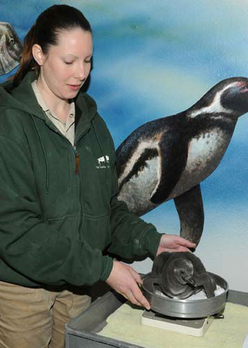 "<div class=""meta ""><span class=""caption-text "">Emily Venckus, a bird keeper for the Chicago Zoological Society, checks the weight of a 1-month-old Humboldt penguin chick at Brookfield Zoo. The male chick hatched on February 20 and is progressing very well due to attentive care from his foster parents. The penguin egg was laid at Columbus Zoo but the parents had difficulties incubating the egg due to the Arctic blast that swept through Ohio. Based on a recommendation by the Association of Zoos and Aquariums? Humboldt Penguin Species Survival Plan, the egg was brought to Brookfield Zoo and given to foster parents to continue the incubation process. (Photo/Jim Schulz)</span></div>"