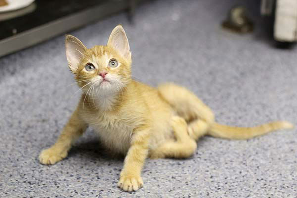 "<div class=""meta ""><span class=""caption-text "">His severe birth defect left him unable to stand or walk, much less run and play like other kittens at Tree House Humane Society in Chicago.  (WLS Photo/ Tree House Humane Society)</span></div>"