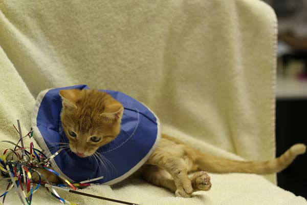 "<div class=""meta ""><span class=""caption-text ""> He can walk and run without pain, Dr. Neihaus said. And, of course, Stockings can now play like a kitten. (WLS Photo/ Tree House Humane Society)</span></div>"