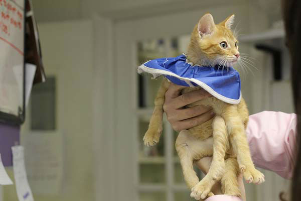 "<div class=""meta ""><span class=""caption-text "">There were no guarantees the surgery would work, but Tree House said the organization felt it was in the best interest of the cat, who had sores on his legs from dragging them and couldn't use his litter box. (WLS Photo/ Tree House Humane Society)</span></div>"