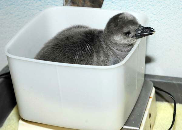 "<div class=""meta ""><span class=""caption-text "">A 2-week-old Humboldt penguin chick at Brookfield Zoo has a weigh in during a wellness check. The egg was laid by a pair at Columbus Zoo but the parents had difficulties incubating the egg due to the Arctic blast that swept through Ohio. The egg was brought to Brookfield Zoo and given to foster parents to continue the incubation process. The chick hatched on February 20 and is progressing very well. (Photo/Jim Schulz)</span></div>"