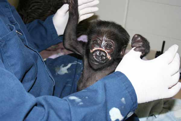 &#34;Nayembi,&#34; a 3-month-old western lowland gorilla at Lincoln Park Zoo, is recovering after suffering major injuries to her face on February 20. <span class=meta>( Lincoln Park Zoo)</span>