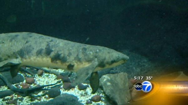 Shedd celebrates oldest fish's anniversary