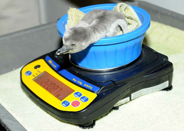 "<div class=""meta ""><span class=""caption-text "">A 7-day-old Humboldt penguin chick at Brookfield Zoo has a weigh in during a wellness check. The egg was actually laid by a pair at Columbus Zoo but the parents had difficulties incubating the egg due to the Arctic blast that swept through Ohio. The egg was brought to Brookfield Zoo, based on a recommendation of the Association of Zoos and Aquariums Humboldt Penguin Species Survival Plan, and given to foster parents to continue the incubation process. The chick hatched on February 20 and is progressing very well. (Photo/Jim Schulz)</span></div>"